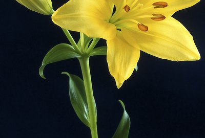Close-up of yellow lily