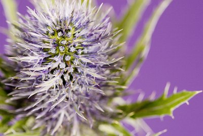 Purple flowering thistle
