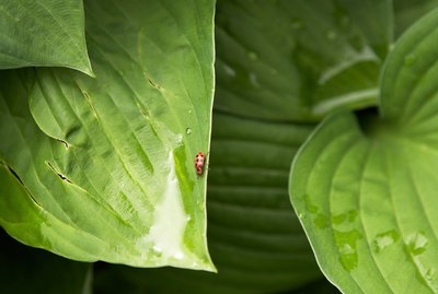 Lady beetle and raindrops on Hosta leaves