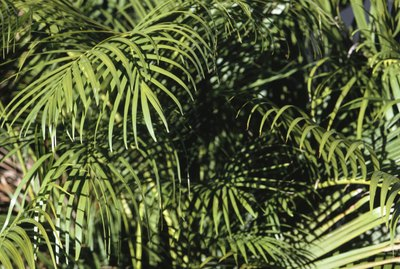 Palm fronds, Puerto Rico, (Close-up)
