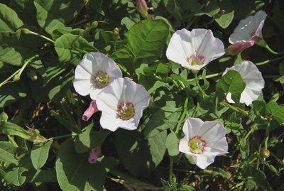 pink flowers of bindweed Convolvulus arvensis