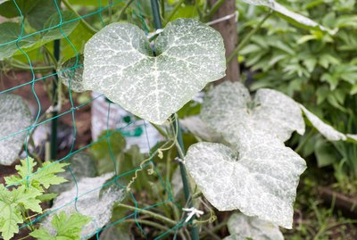 Powdery mildew in the garden.