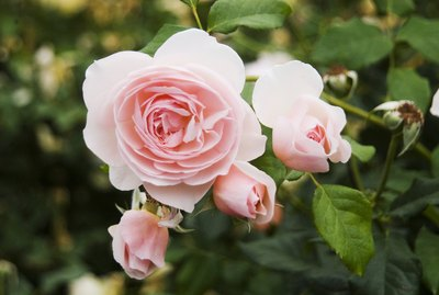 Pretty pink roses growing in a garden.