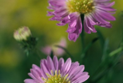 Close-up of purple asters
