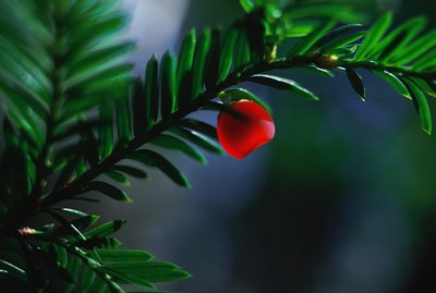Yew berry and branch