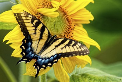 Eastern Tailed Swallowtail Butterfly feeding on a sunflower.