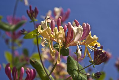 close up of honeysuckle flowers agianst bright blue background