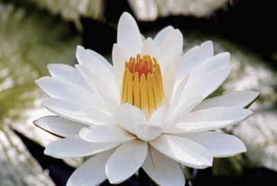 Close-up of Nymphaea, white water lily