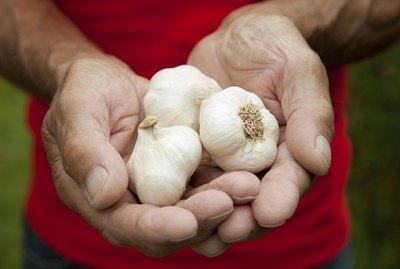 Fresh crop of garlic