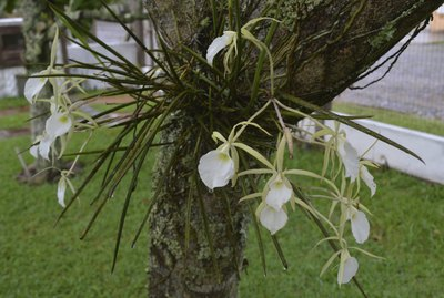 white orchids on a tropical tree