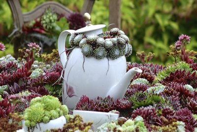 coffee pot in a houseleek landscape