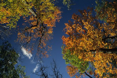 Sugar maple trees in fall, Canada, view from below