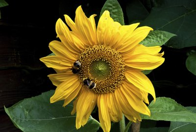 Two bees on asunflower