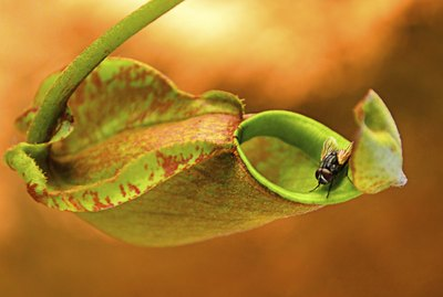 Nepenthes is Carnivorous Plants often to trap insect.