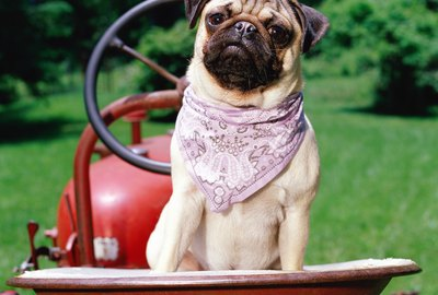 Pug on lawnmower wearing bandana