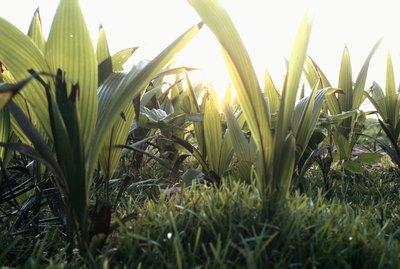 Turmeric field