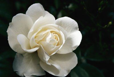 White rose, close-up, overhead view