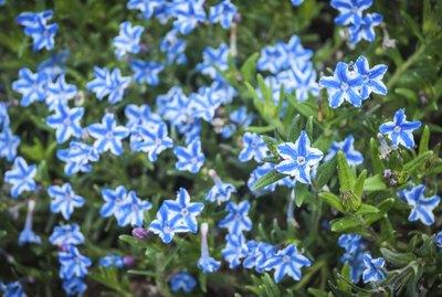 White Star Flower