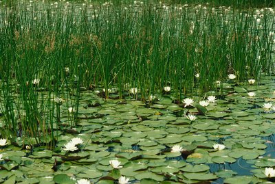 Waterlilies in bloom with reeds and sedges in wetland