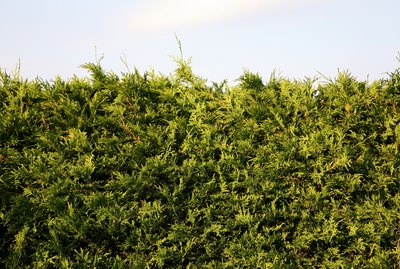Close-up of juniper hedge