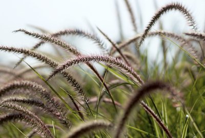 African Fountain Grass,