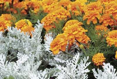 Orange Marigold and Dusty Miller, close-up