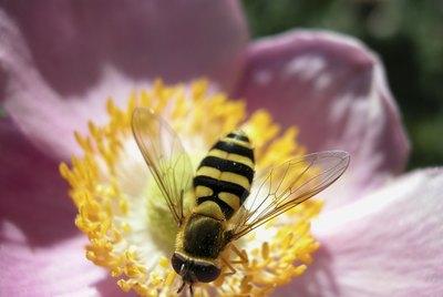 Bee on a flower bloom