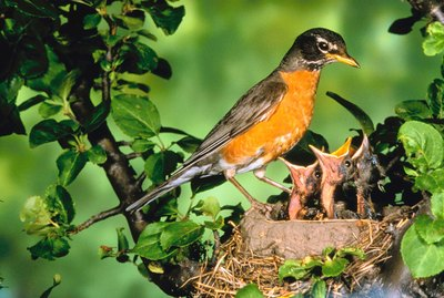 Robin with offspring in nest