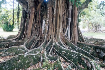 Tropical tree with buttress roots
