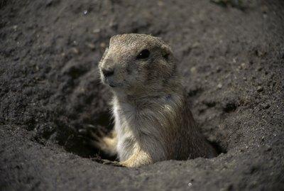 Prairie dog in a hole
