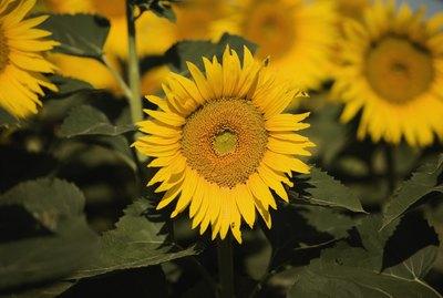 Close-up of sunflowers