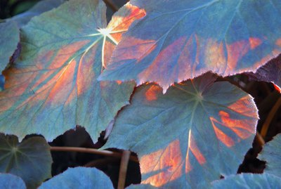 Forest grape leaves lit by the sun.