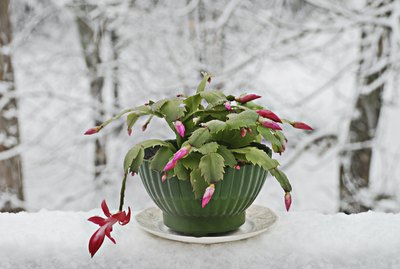 Christmas cactus house plant on snow covered table