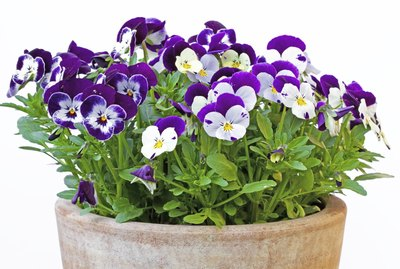 Viola cornuta (horned violet) in a clay pot