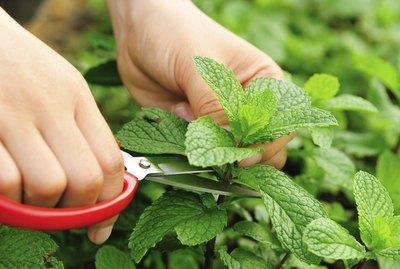 picking  mint