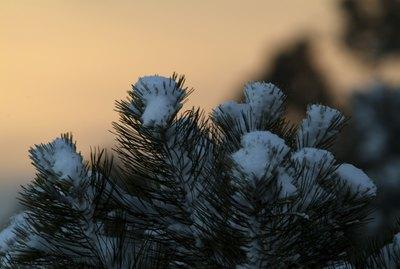 Close-up of snow on fir tree