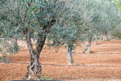 Grove of olive trees in Spain