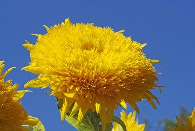 Teddy Bear Sunflower against a blue sky