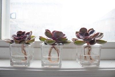 Succulent hydroponic display
