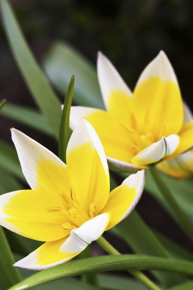 Diminutive Tulip (Tulipa tarda) in a garden