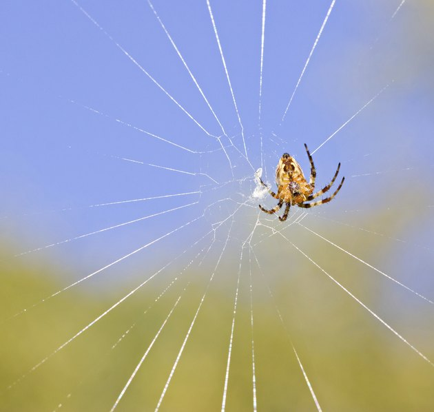 Cross spider on net by day