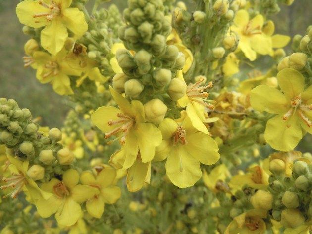 Verbascum phlomoides - mullein