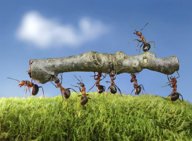 team of ants carry log with chief on it