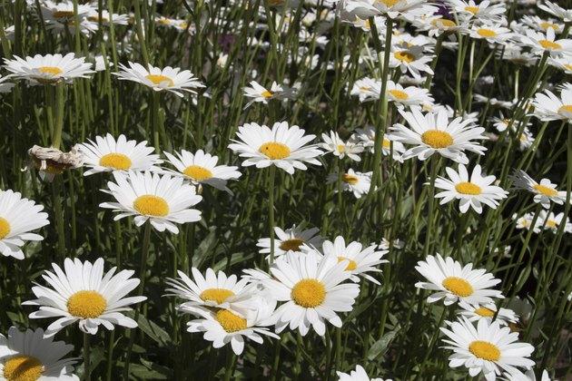 Sea of Daisy