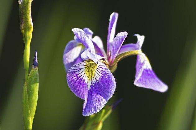Iris xiphium, commonly known as the Spanish Iris