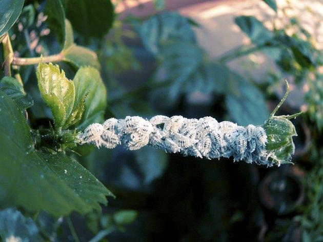 Cotton Mealy bugs, Homoptera: Pseudococcidae