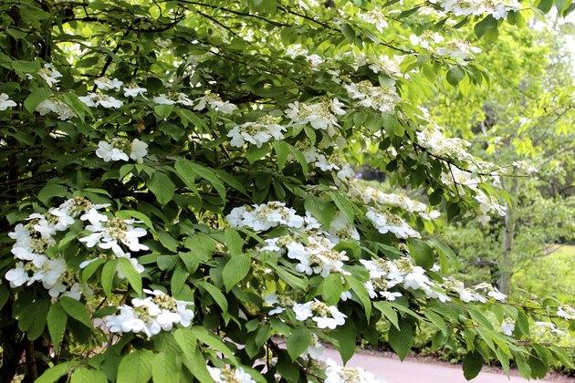 White viburnum flowers on garden shrub (plicatum tomentosum 'Mariesii')