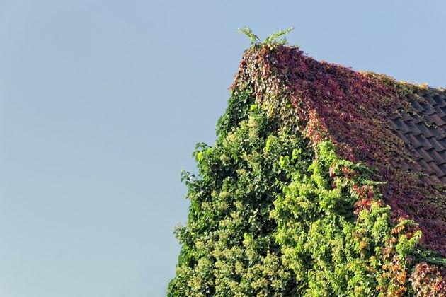 Roof overgrown with climbing hydrangea und Virginia creeper
