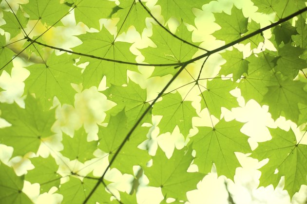 Green Leaves - Maple