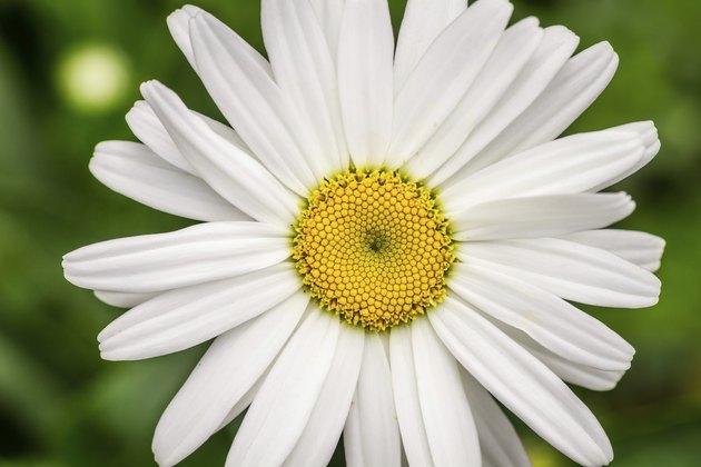 Closeup of summer wildflowers - Daisy